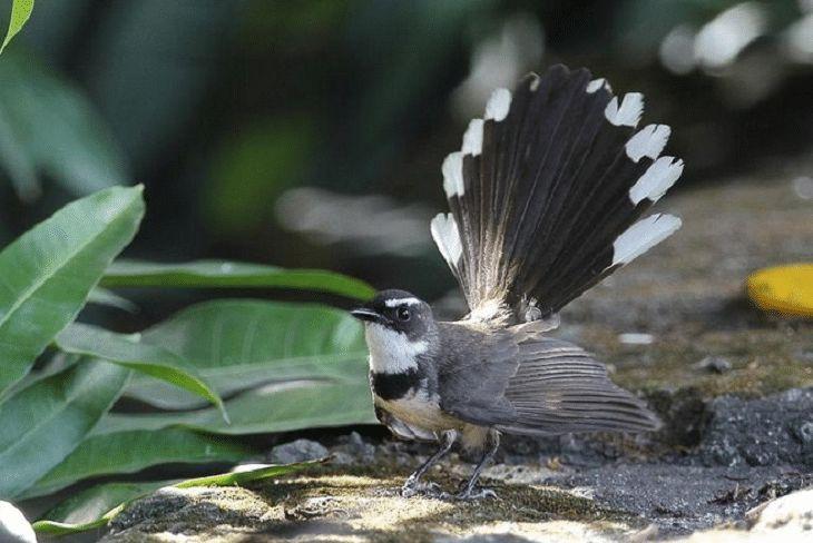 di seluruh dunia kurang lebih ada 48 spesies burung kipasan yang tersebar di kawasan australasia asia tenggara serta india