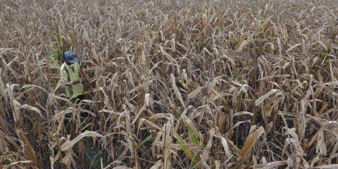 ktm mesuji siap sukseskan produk unggulan jagung di kawasan transmigrasi