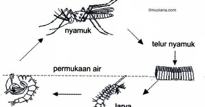 contoh teka teki nyamuk yang penting untuk murid