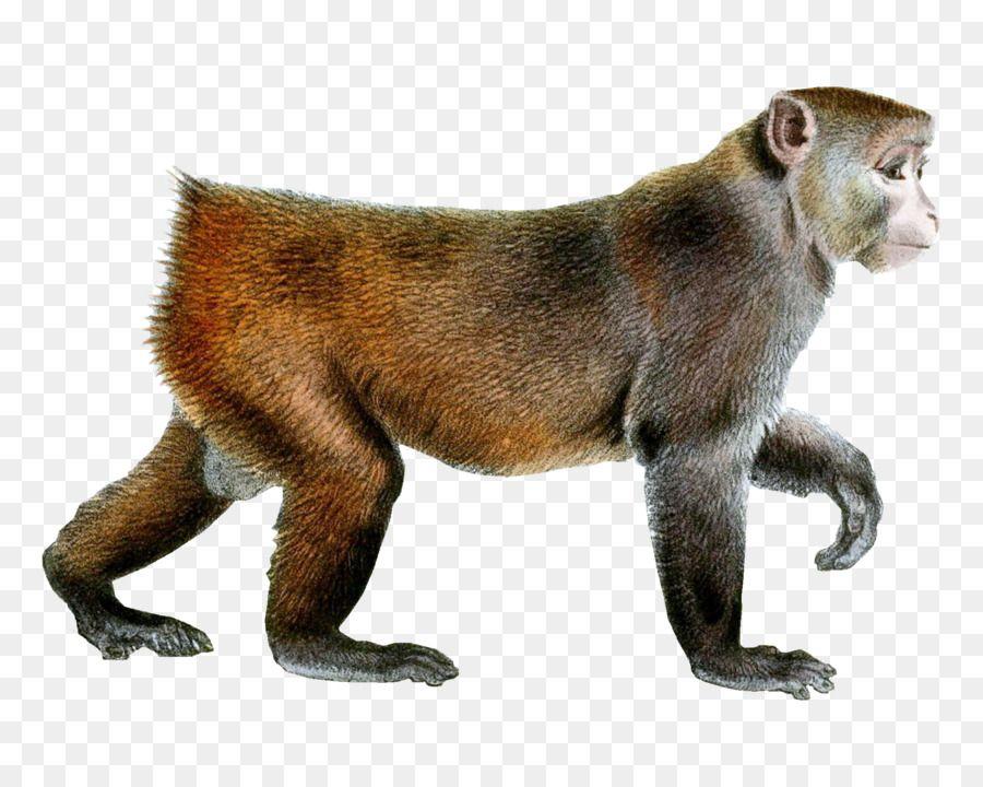 primata monyet rhesus macaque jepang bayi monyet cercopithecidae umum monyet teka teki silang