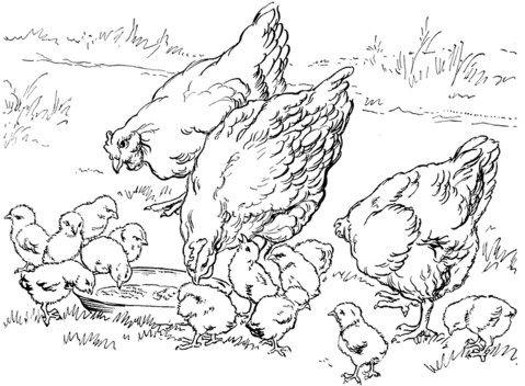 Gambar Mewarna Ayam Meletup Gambar Ayam Belajar Mewarnai Gambar Mania