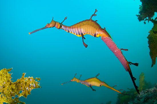 karena gerakannya lamban naga laut jadi mudah diserang musuhnya naga laut juga mudah tersapu ombak ke pantai hewan itu juga diburu untuk