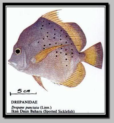 ikan daun baharu ikan ni bersisek halus ada bintik polka dot kat badan bentuk seakan macam kipas semua masakan boleh dibuat