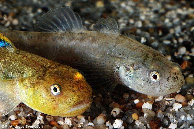 namun pengkaji mendapati ikan padang pasir ini mampu mengadaptasi persekitaran bergurun itu untuk terus hidup ia mampu hidup di kawasan berlumpur dan