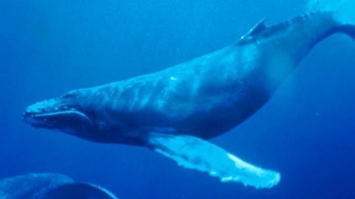 teka teki kuno tersibak paus raksasa mampu makan besar berkat saraf karet