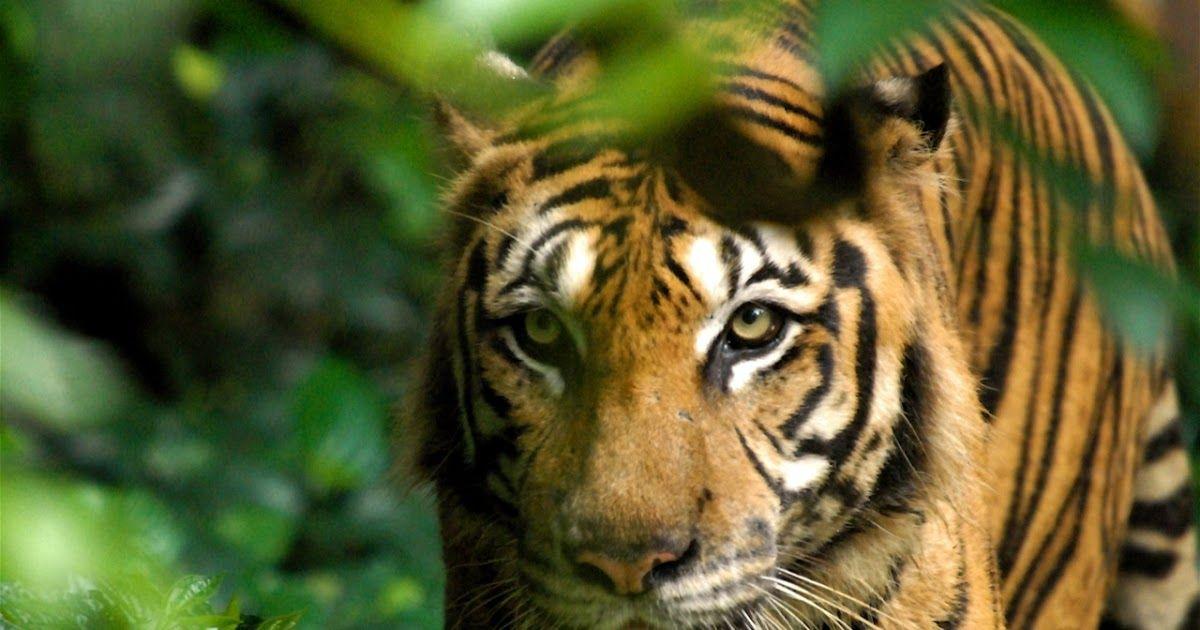 teganuku hutan taman negara dan merapoh diwarta sebagai kawasan kajian harimau