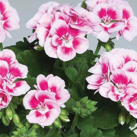 tanaman ini asli dari pegunungan alpen di negara swiss berwarna ungu bergerombol diujung tangkai tanaman ini biasanya menghiasi padang rumput di kaki