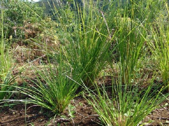 jenis tanaman ini mengandung zat yang mudah terbang memenuhi udara sekitarnya geranium sangat mudah ditanam bisa di pot atau langsung ditanah