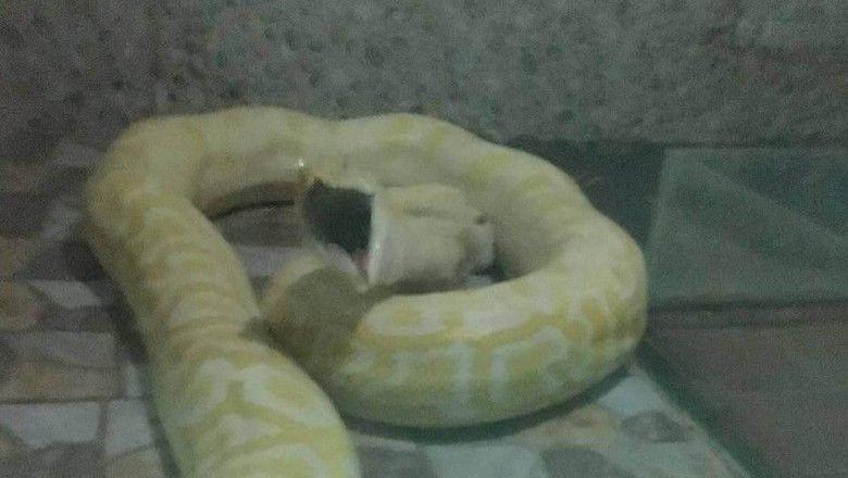 anak anjing jadi makanan ular piton di kebun binatang china