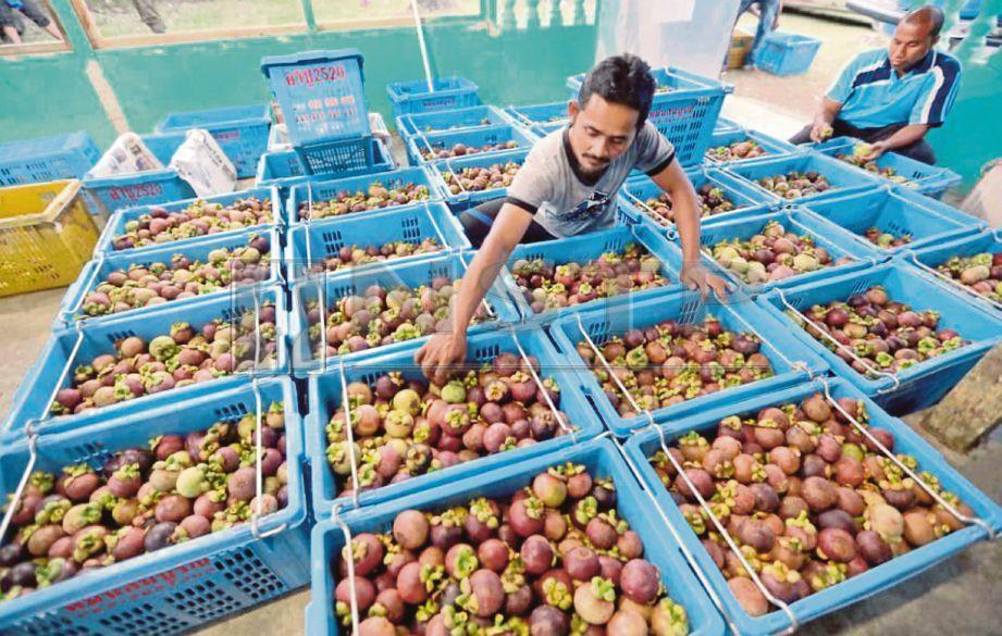 raub pengeluaran manggis di luar musim kali ini memberi peluang terbaik kepada seorang pemborong buah buahan itu memasarkannya ke negara jiran thailand