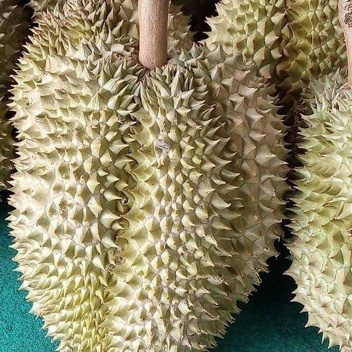 cari partner ambil durian montong sulauwesi ada 130 buah siap panen dan kirim harga