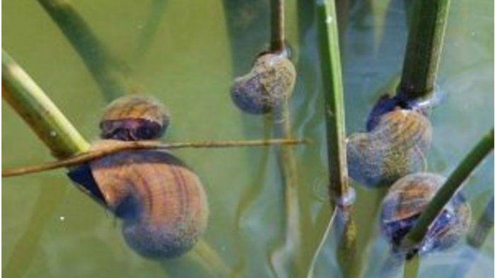 lebih bahaya dari predator siput air ini telah hilangkan ribuan nyawa tiap tahun