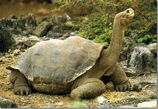 spesies kura kura ini adalah vertebrata dengan hidup terpanjang di bumi salah satu kura kura tersebut bernama harriet seekor kura kura galapagos