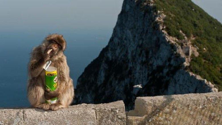 ilustrasi monyet mencuri dari turis dok thinkstock
