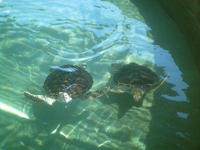maka sempatlah saya masuk ke dalam melihat penyu penyu laut hidup bermain main dalam kolam air masyaallah sungguh indah sekali ceritanya ah