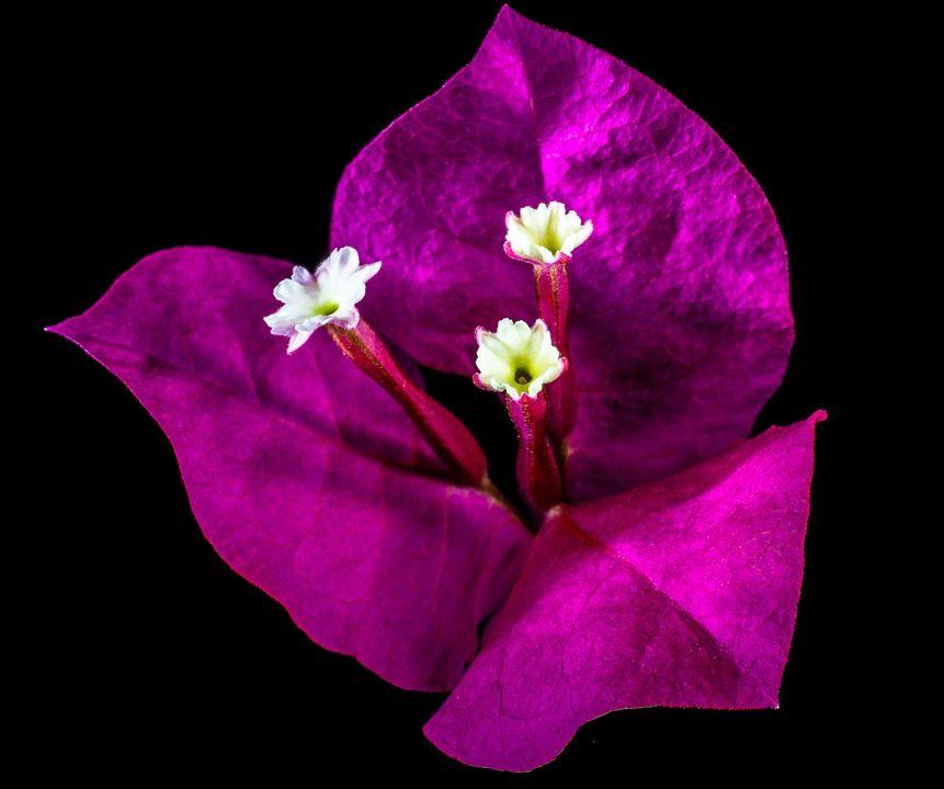 kembang kertas mekar bunga warna merah muda